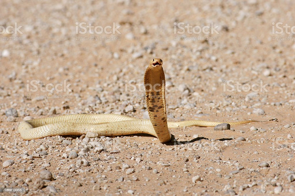 Cape cobra, naja nivea, in threat pose, with hood open stock photo