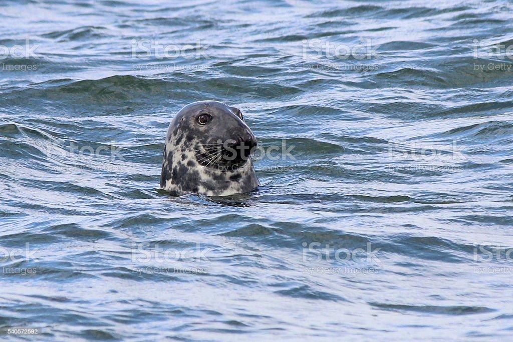 Cape Cod Seal stock photo