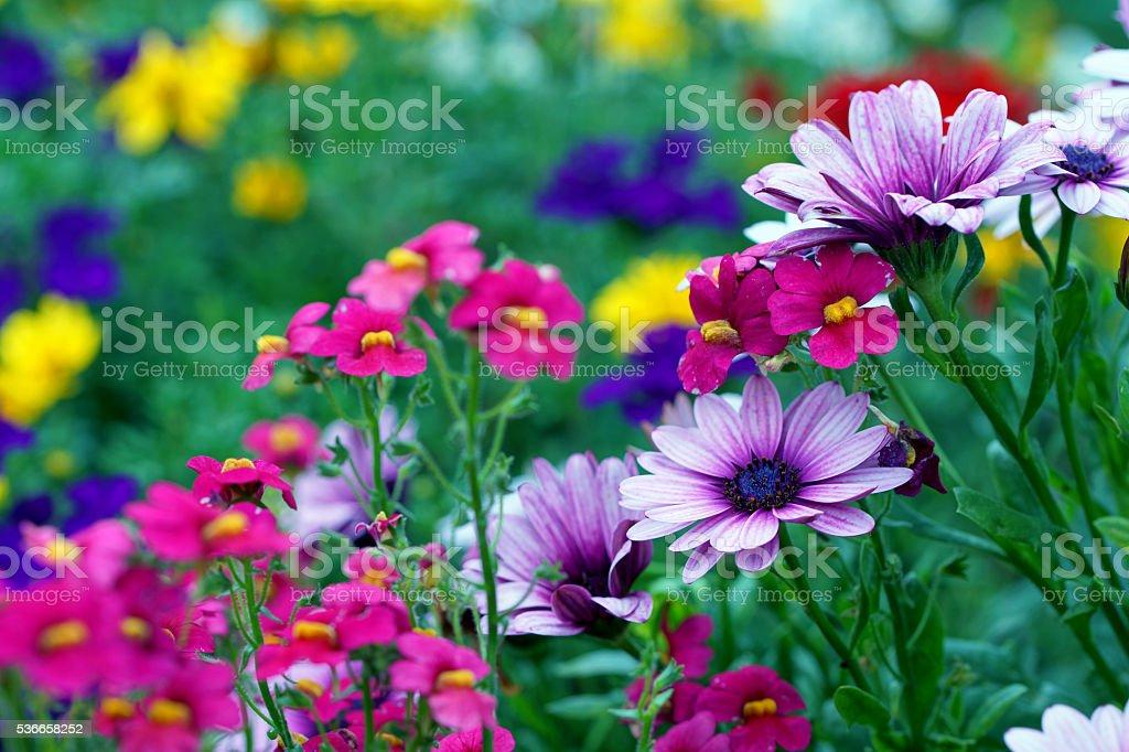 Cape daisies and nemesia stock photo