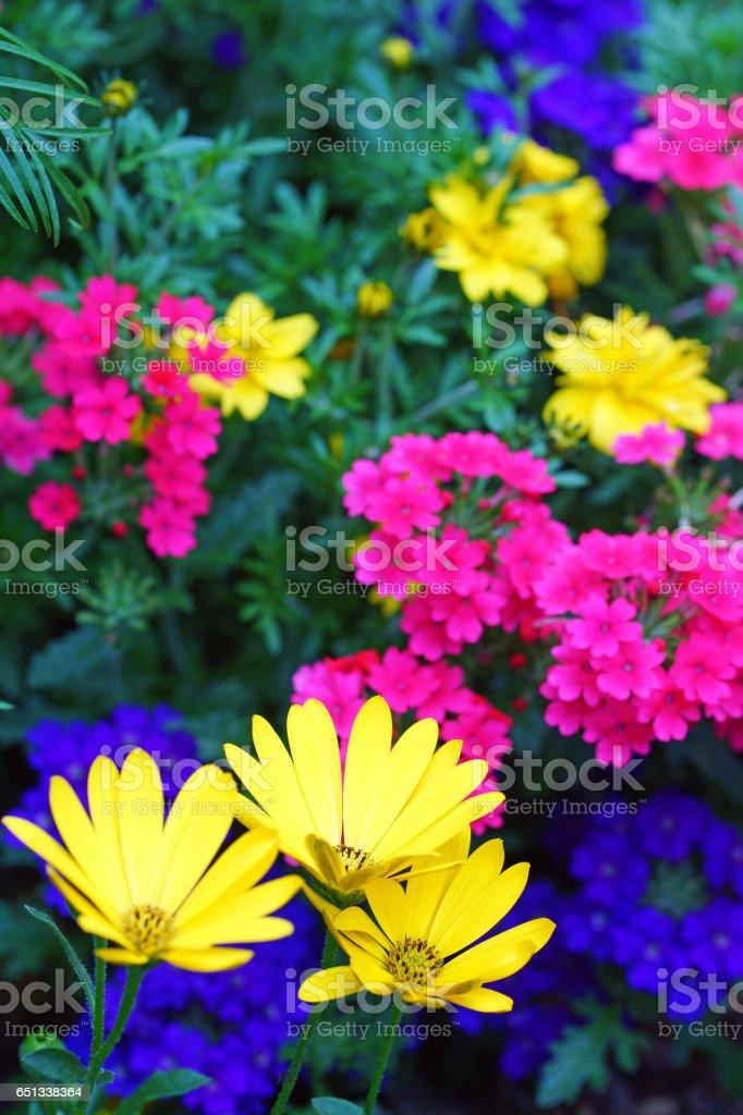 Cape daisies and verbena stock photo