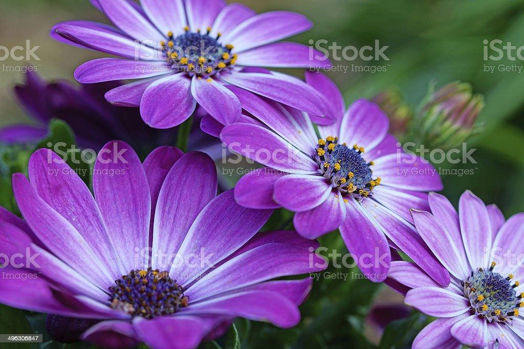 Cape daisy stock photo