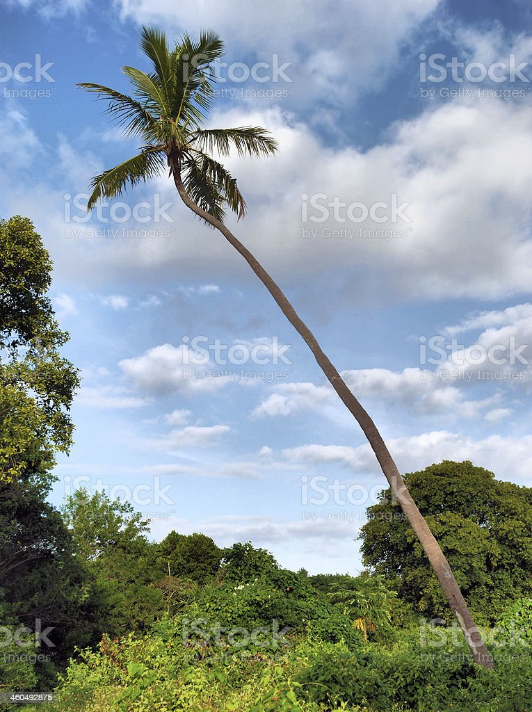 Cape Florida Palm stock photo
