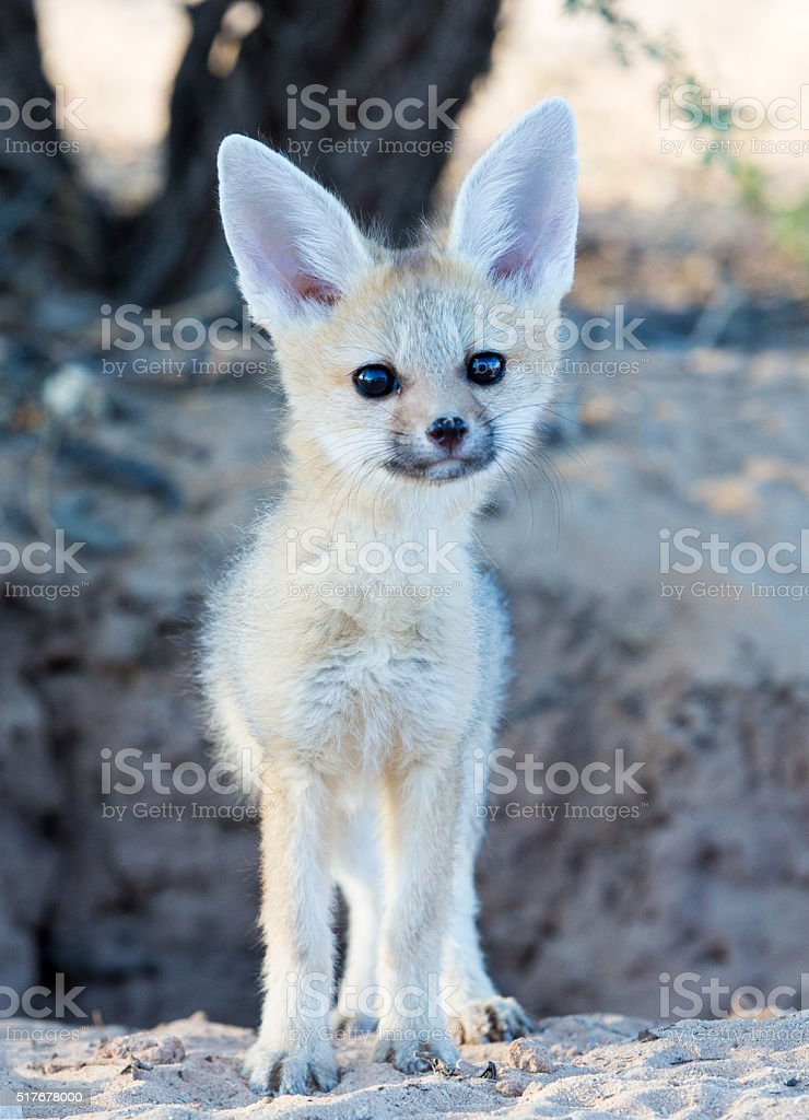 Cape fox baby stock photo