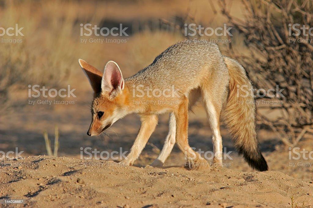 Cape fox royalty-free stock photo