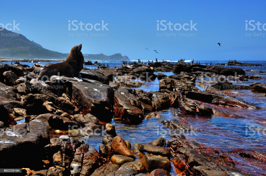 Cape fur seal at Cape point stock photo
