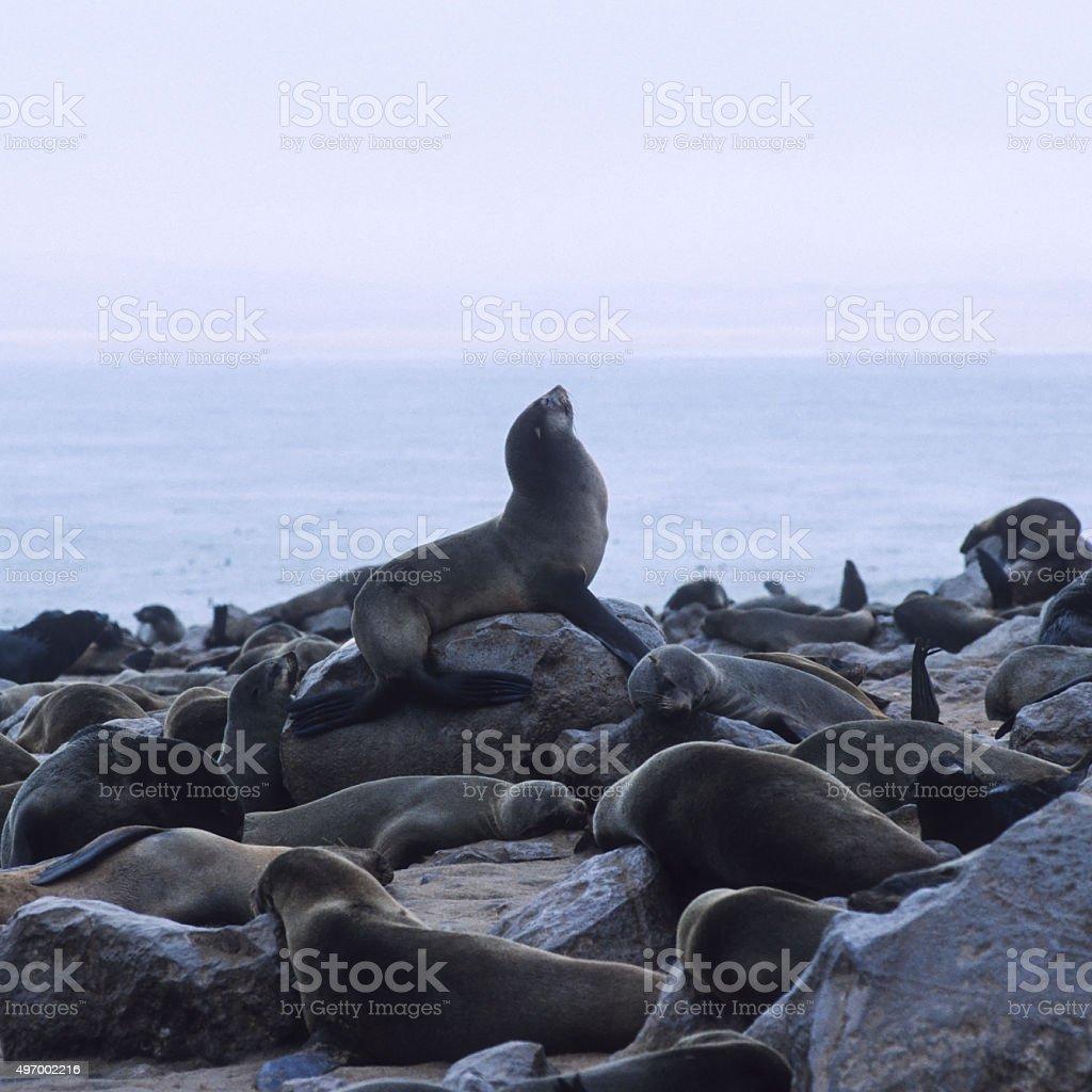 Cape Fur Seal (Arctocephalus pusillus) colony in Cape Cross. Namibia stock photo