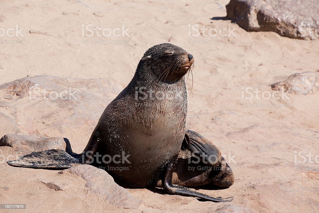 Cape fur seal royalty-free stock photo