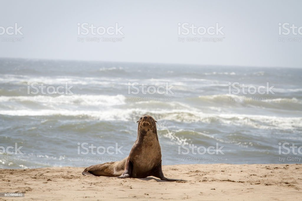 Cape fur seal starring at the camera. stock photo