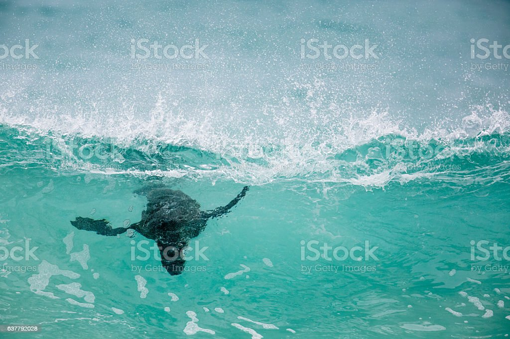 Cape Fur Seal under the water of a breaking wave stock photo