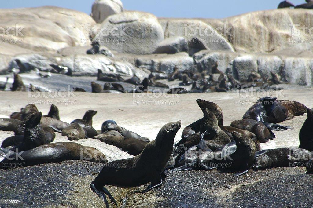 Cape Fur Seals colony stock photo
