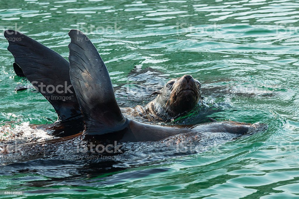 Cape Fur Seals In The V&A Waterfront, Cape Town stock photo