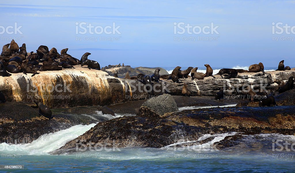 Cape Fur Seals on Duiker Island in Hout Bay stock photo