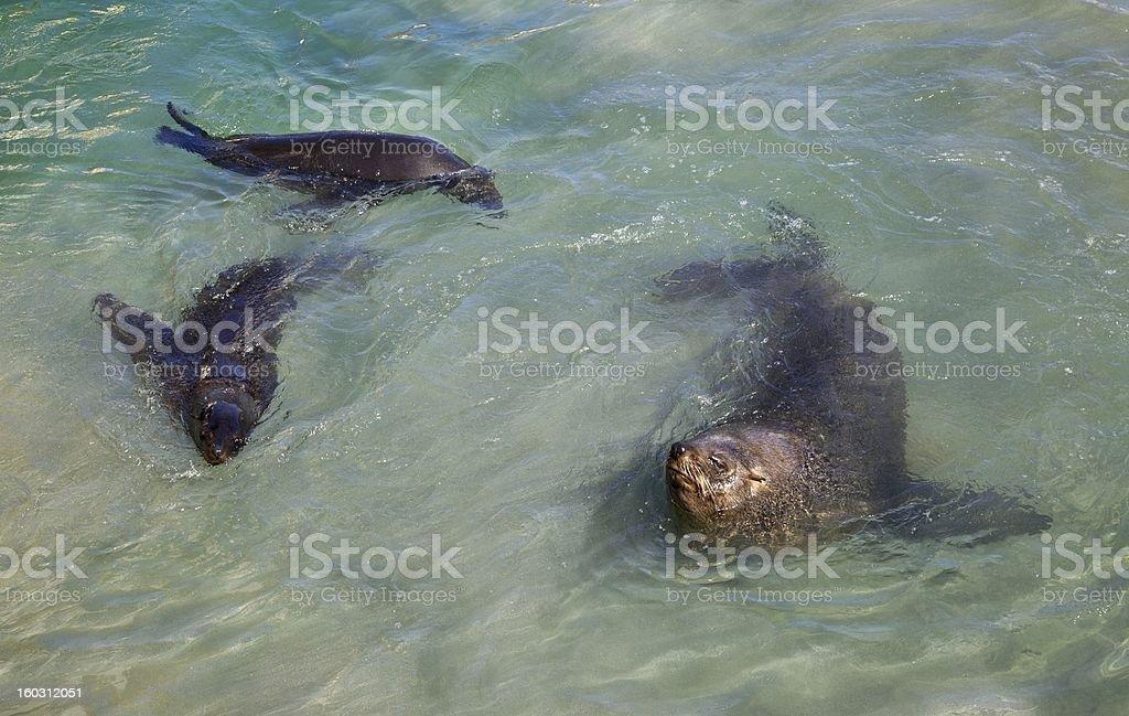 Cape Fur Seals royalty-free stock photo