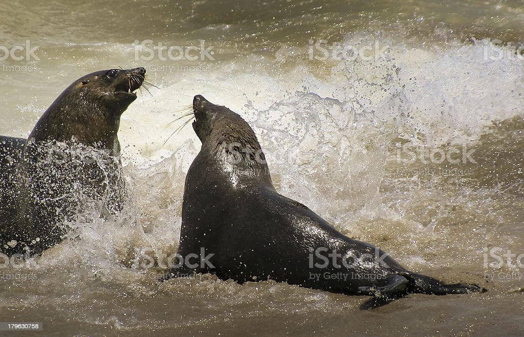 Cape Fur Seals royalty-free stock photo