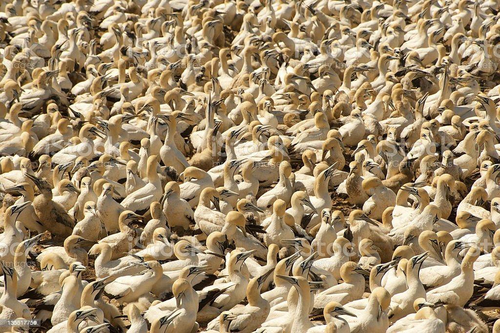 cape gannet bird colony stock photo