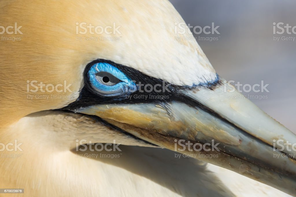 Cape Gannet close up of the head and face stock photo