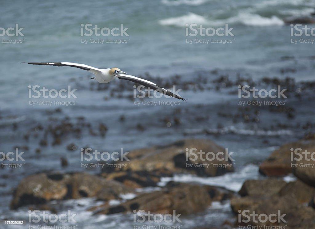 Cape Gannet Flying stock photo