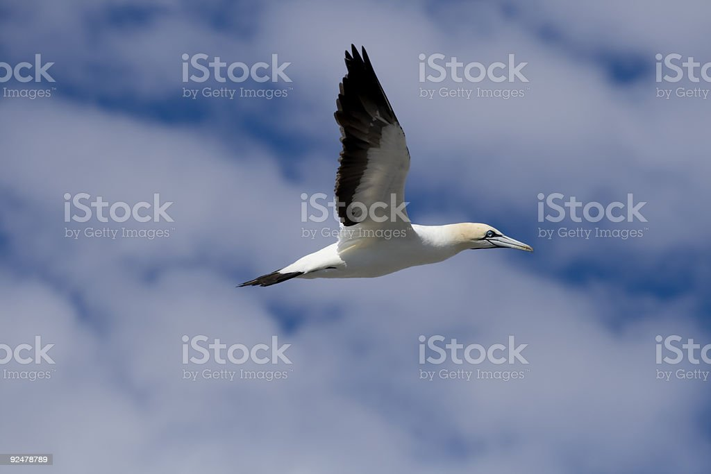 Cape Gannet Morus capenis in flight stock photo