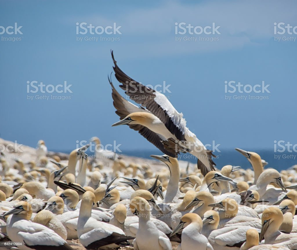 Cape Gannet stock photo