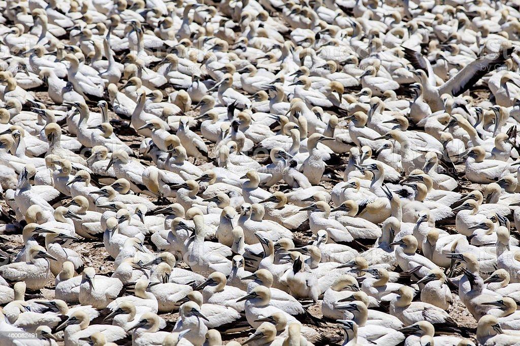 Cape gannet sea bird nesting colony stock photo