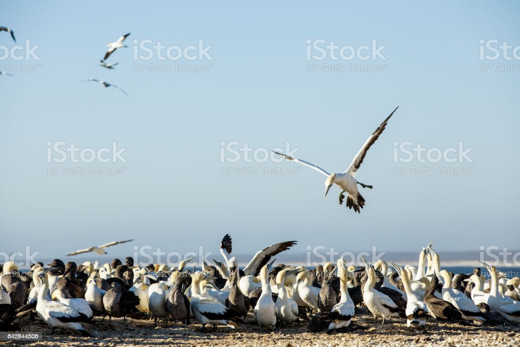 Cape gannet seabirds at a breeding colony in Lambert's Bay, South Africa stock photo