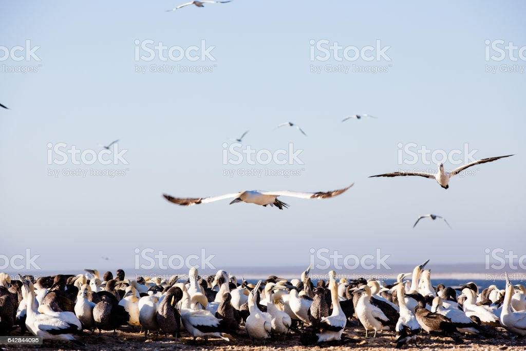 Cape gannet seabirds flying and roosting at Lambert's Bay, South Africa stock photo