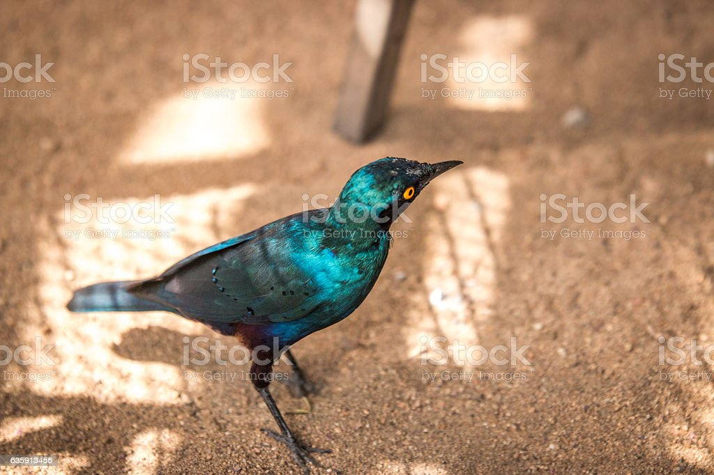 Cape glossy starling in the Kruger National Park, South Africa. stock photo