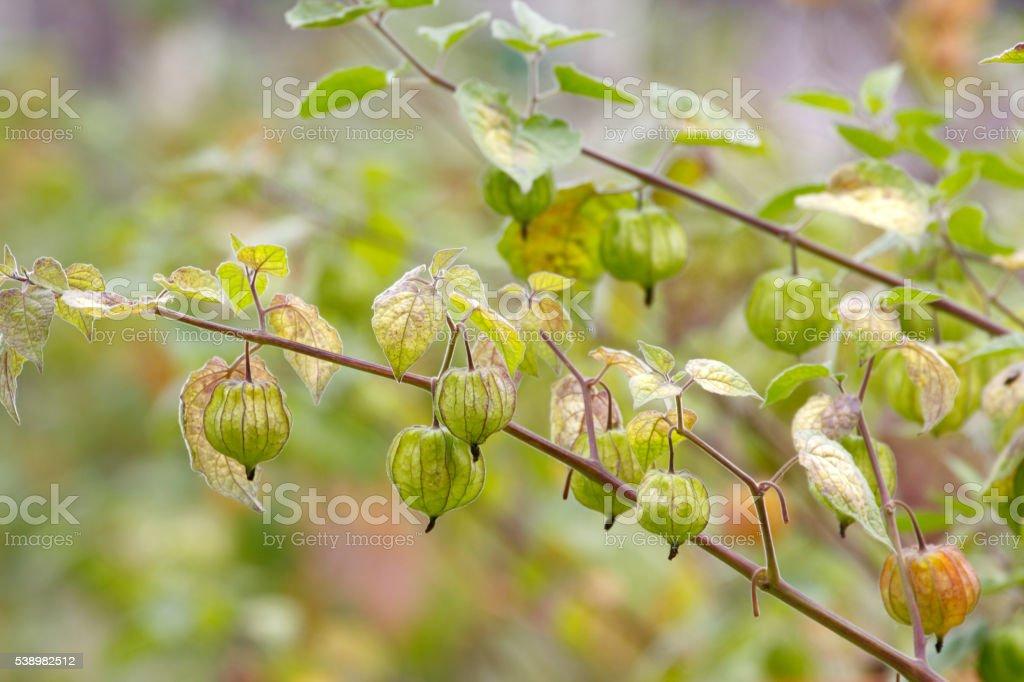 Cape gooseberry stock photo