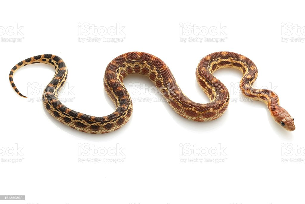 Cape Gopher Snake royalty-free stock photo