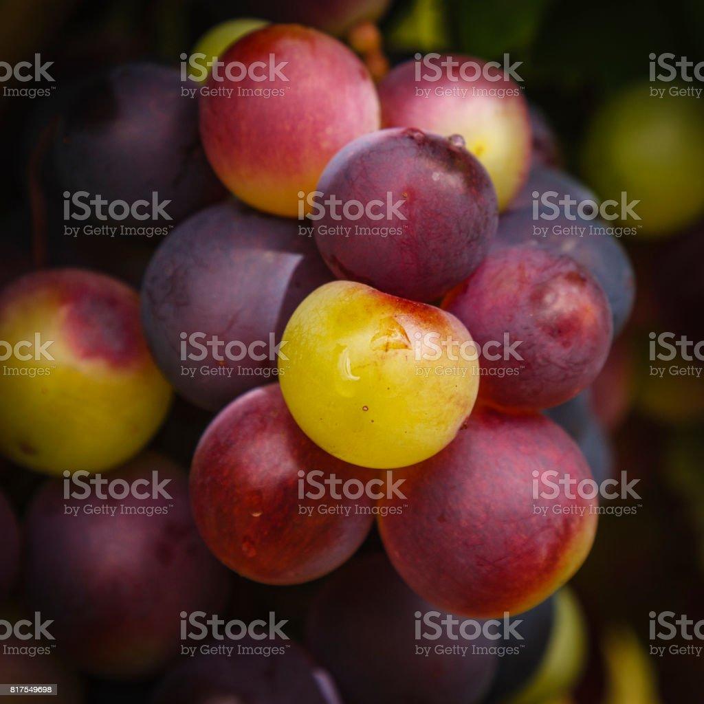 Cape grapes stock photo