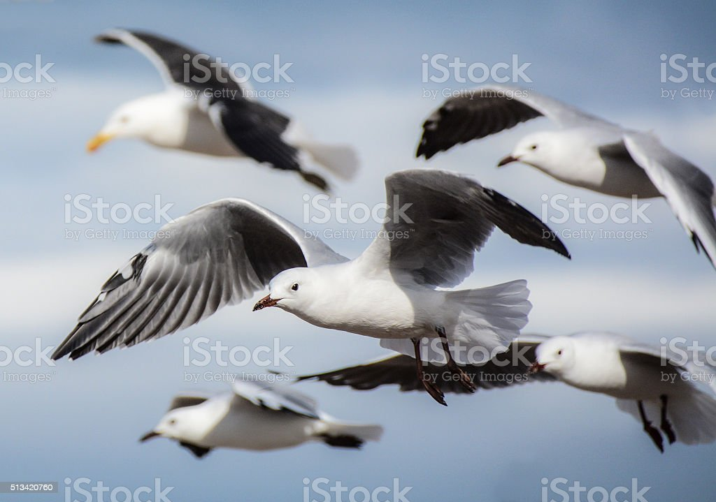 Cape Gull, False Bay, South Africa stock photo