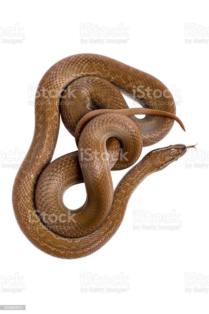 Cape House Snake (Boaedon Capensis) stock photo