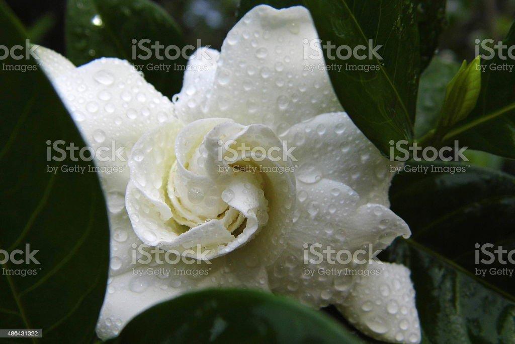 Cape Jasmine or Gardenia flower with dew behind leaf