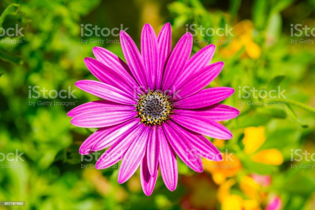 Cape marguerite purple flower stock photo