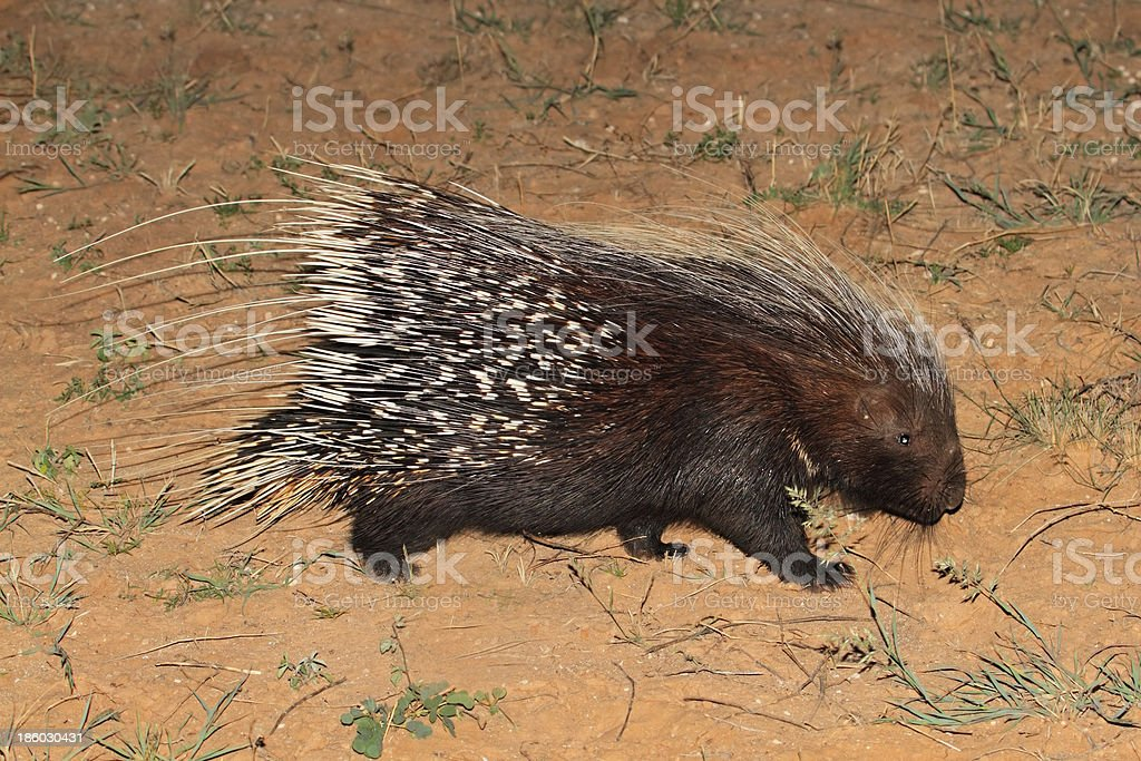 Cape porcupine royalty-free stock photo
