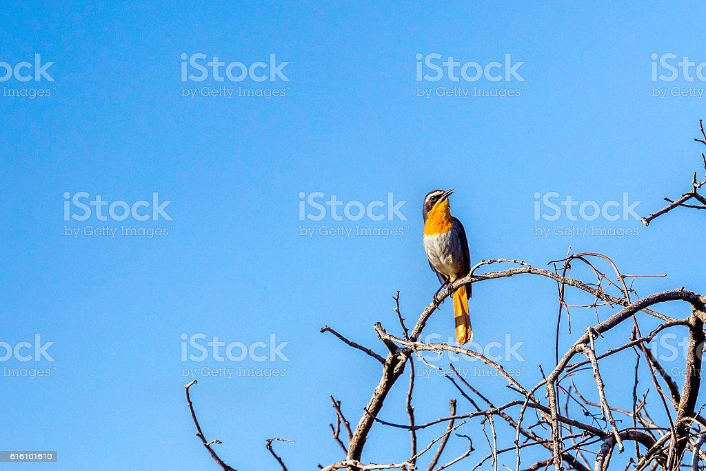 Cape Robin-chat bird stock photo