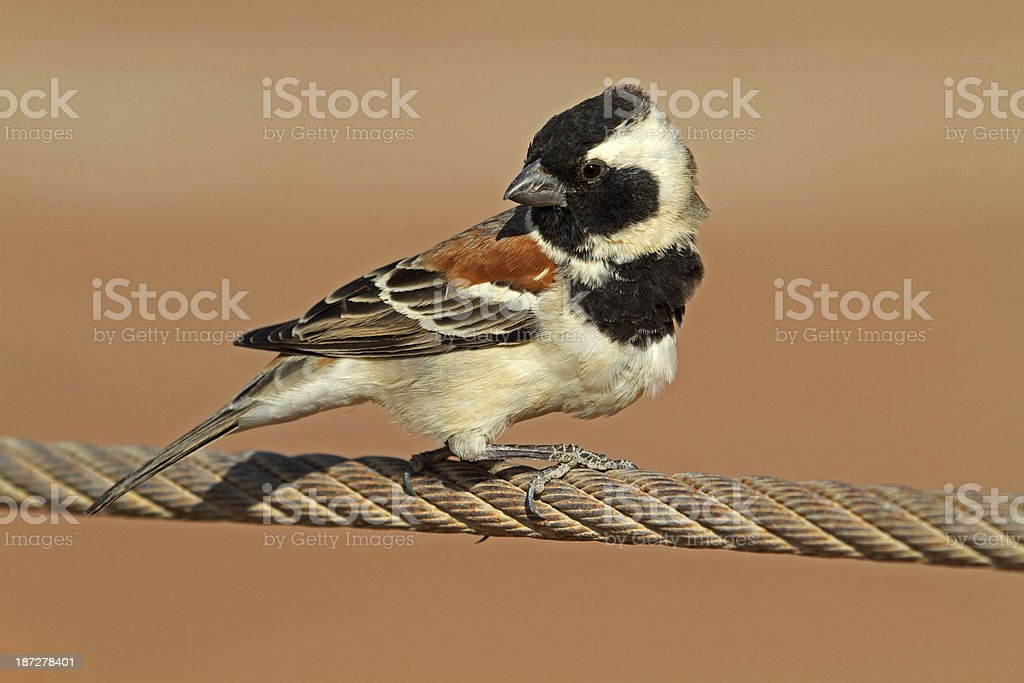 cape sparrow royalty-free stock photo