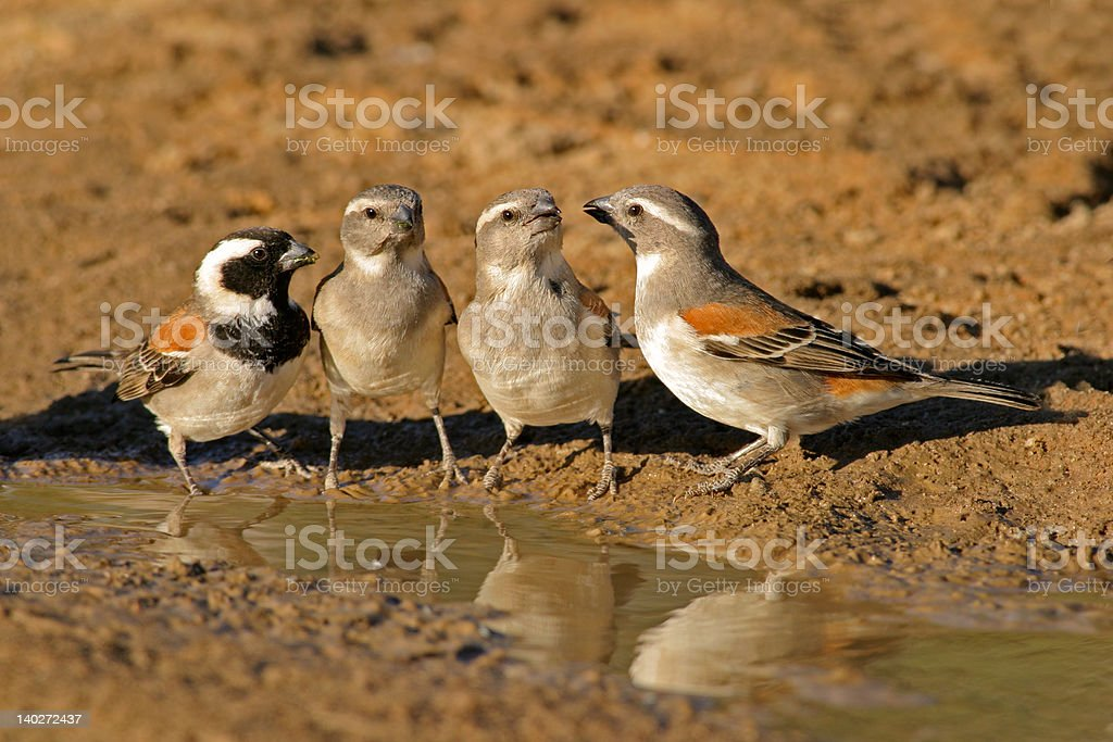 Cape sparrows royalty-free stock photo