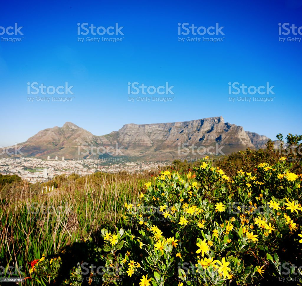 Cape Town and Table Mountain spread out behind wildflowers stock photo