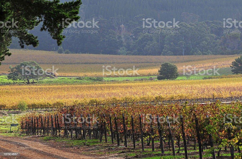 Cape Town Autumn Vineyard stock photo