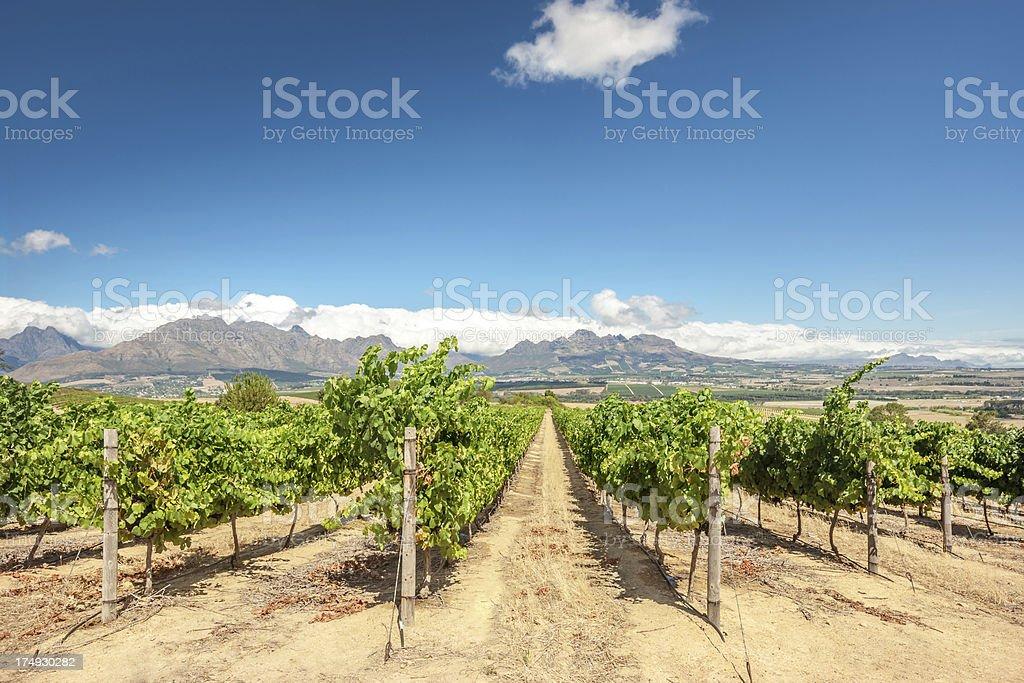 Cape Town Vineyard Stellenbosch South Africa stock photo