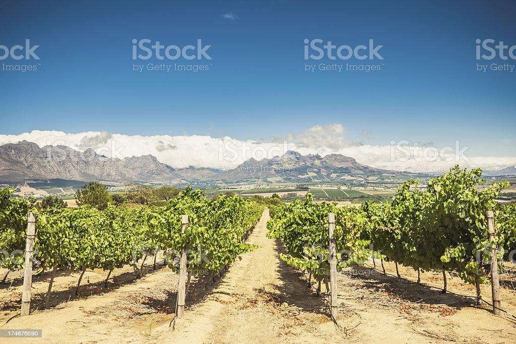 Cape Town Vineyard Stellenbosch,South Africa royalty-free stock photo