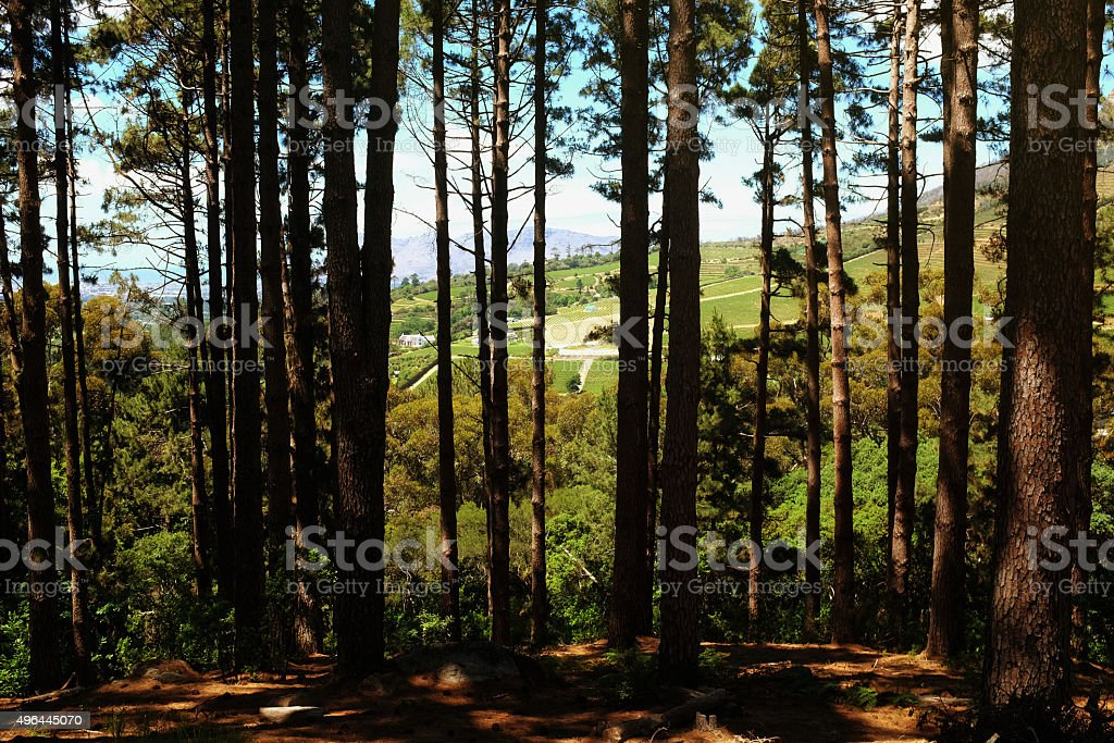 Cape Town's Constantia winelands seen through pine trees stock photo