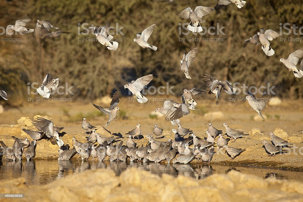 Cape Turtle Doves at waterhole stock photo