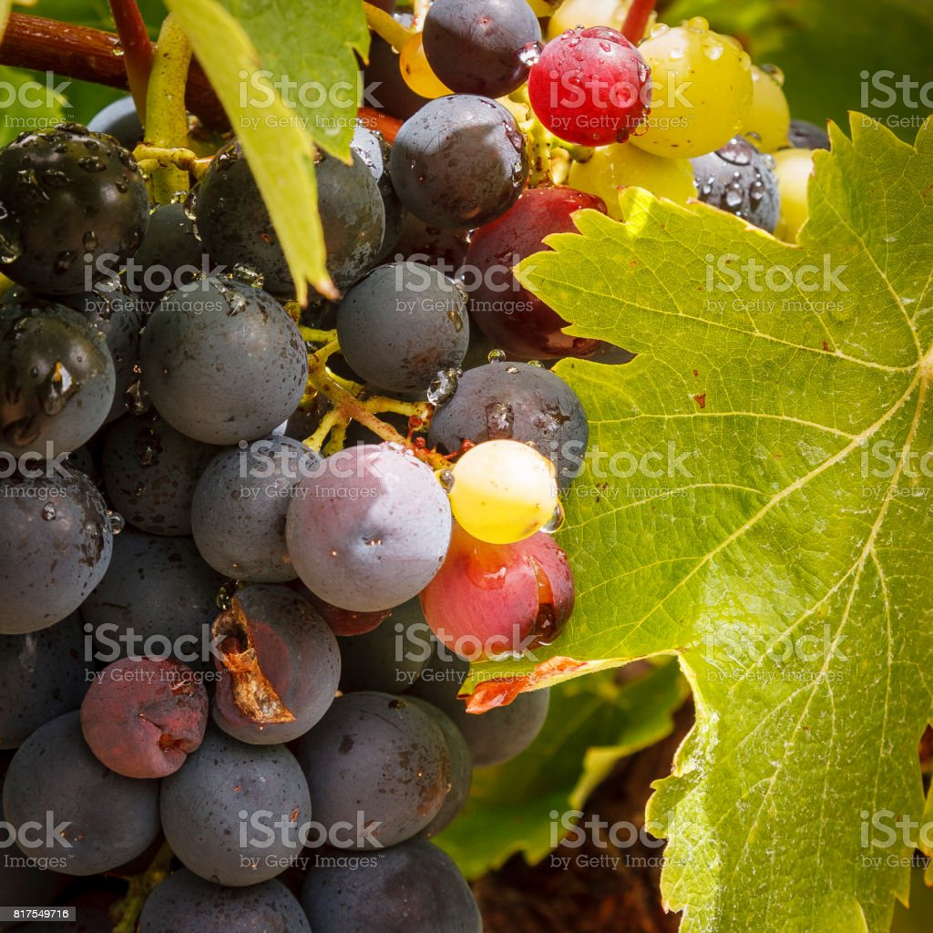 Cape vines and grapes stock photo