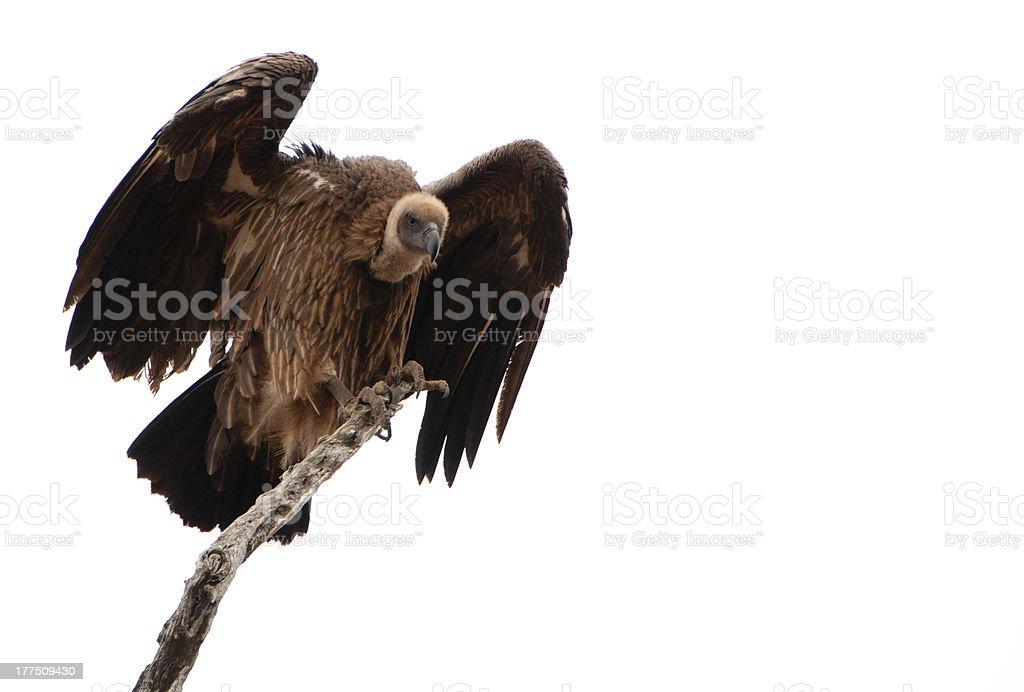 Cape Vulture stock photo
