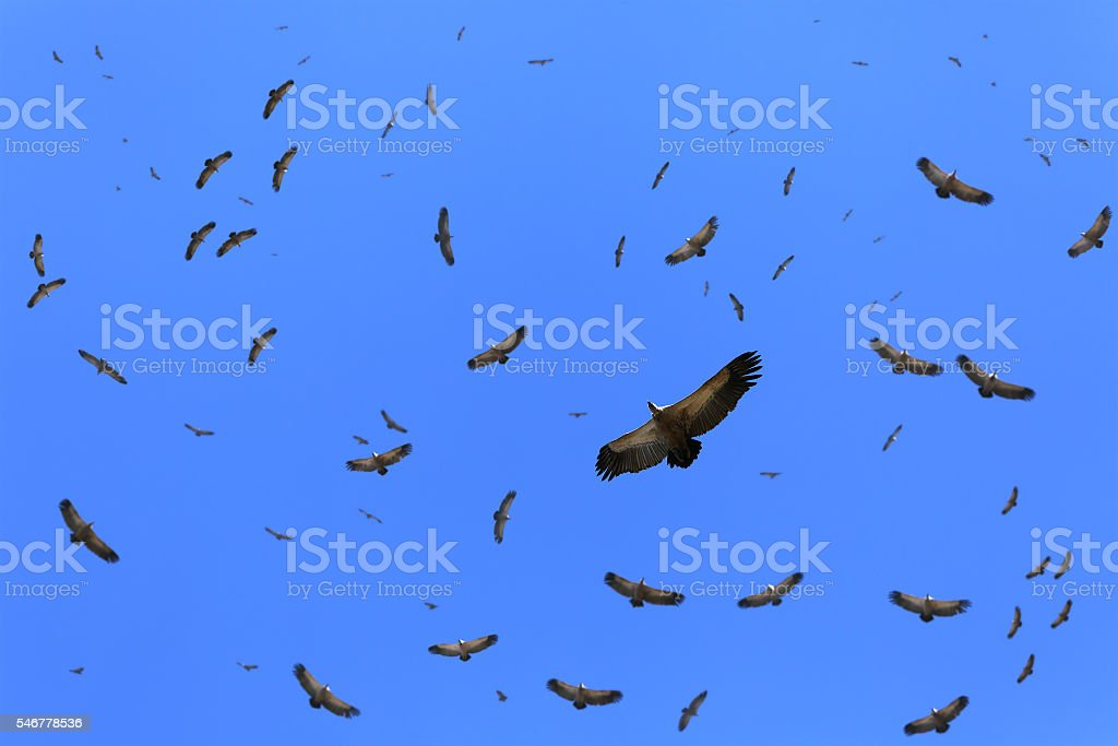 Cape vultures circling the area stock photo