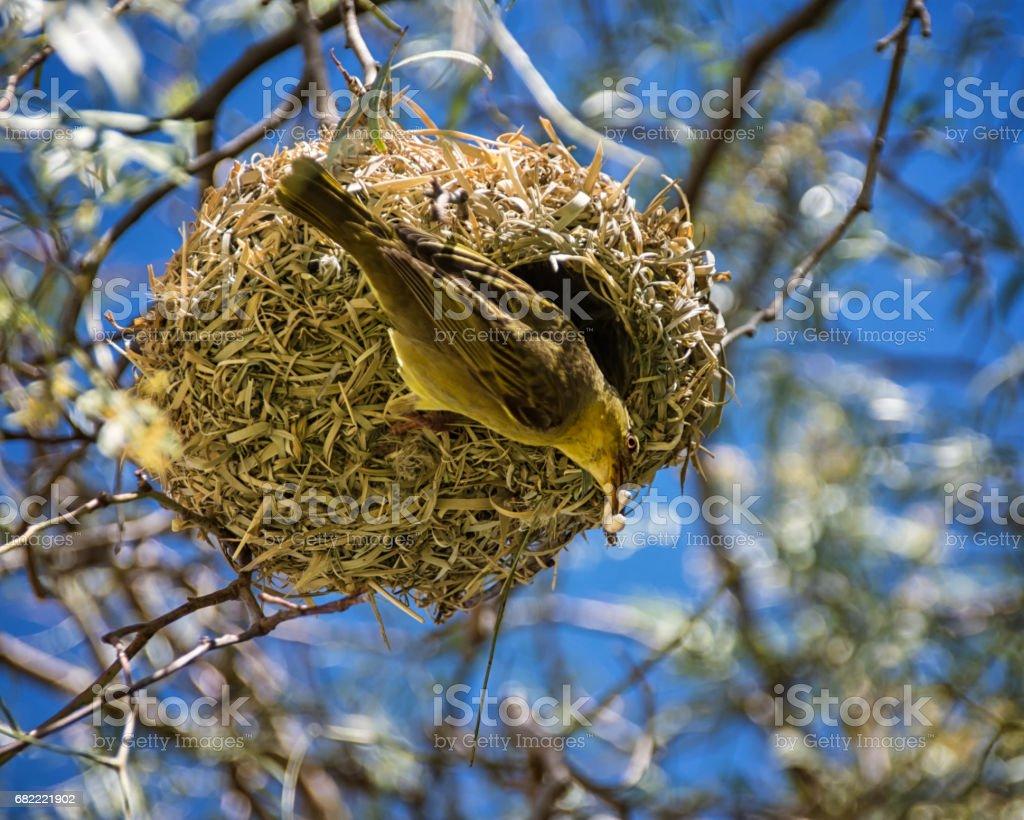 Cape Weaver stock photo
