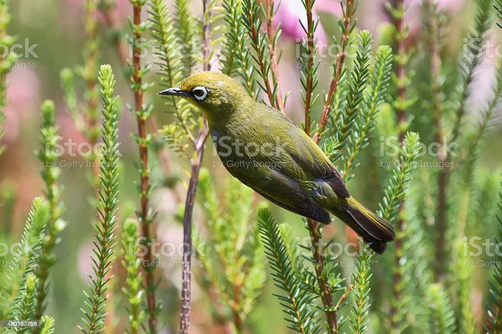 Cape White-eye bir stock photo