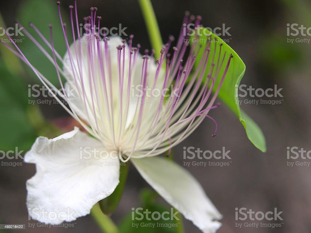 Caper Flower closeup stock photo